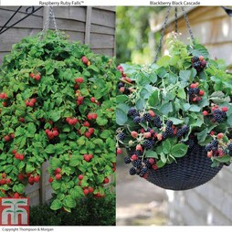 Hanging Basket Berry Collection