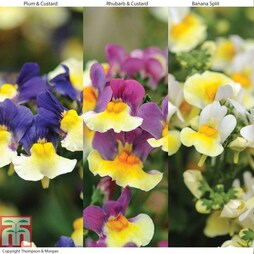 Nemesia Collection