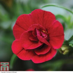 Petunia 'Mini Rosebud Romantic Collection' (Mini Petunia)