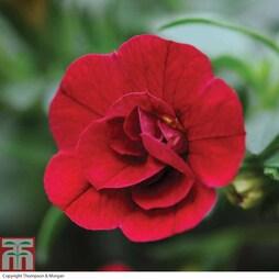Petunia 'Mini Rosebud Romantic Collection' (Mini Petunia)