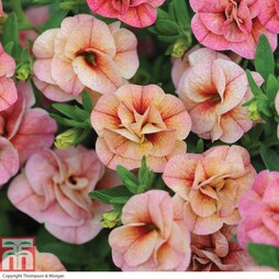 Petunia 'Mini Rosebud Romantic Peachy' (Mini Petunia)