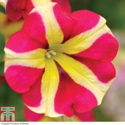 Petunia 'Amore™ Queen of Hearts'