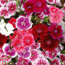 Dianthus 'Diamond Mixed' (Garden Ready)