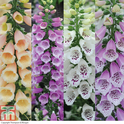 Foxglove 'Dalmation Mixed' (Garden Ready)