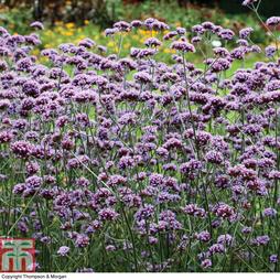 Verbena bonariensis (Garden Ready)