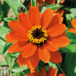 Zinnia x hybrida 'Profusion Orange' (Garden Ready)