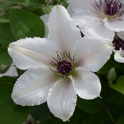 Clematis The Countess Of Wessex™ evipo073