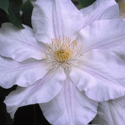 Clematis Ice Blue™ evipo003