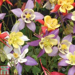 Aquilegia caerulea 'Mrs Scott-Elliott' (Garden Ready)