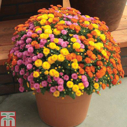 Chrysanthemum 'Hardy Patio Mixed'