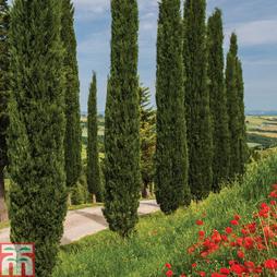 Italian cypress 'Stricta'