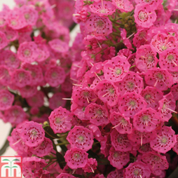 Kalmia angustifolia Rubra (Mountain Laurel)
