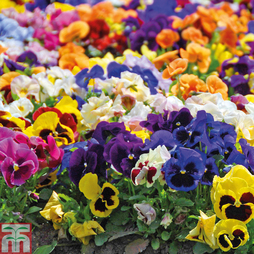Pansy 'Matrix™ Mixed' (Garden Ready)