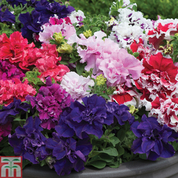 Petunia 'Orchid-Flowered Mixed' F1 Hybrid (Garden Ready)