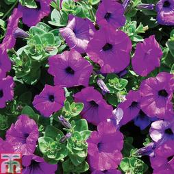 Petunia 'Trailing Surfinia Purple'
