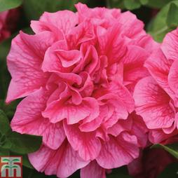 Petunia 'Candyfloss'
