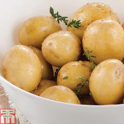 Potato 'Maris Piper'