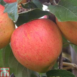 Apple 'James Grieve'