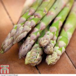 Asparagus officinalis 'Mondeo' (Spring/Autumn Planting)