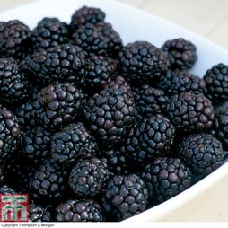 Blackberry 'Reuben'