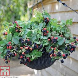 Blackberry Black Cascade