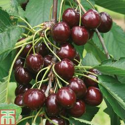 Cherry 'Sunburst'