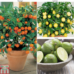 Citrus Tree Collection