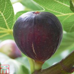 Fig 'Violette de Bordeaux'