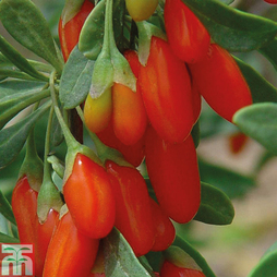 Goji Berry 'Synthia'