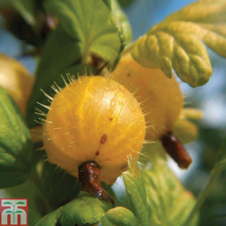 Gooseberry 'Hinnonmaki Yellow'