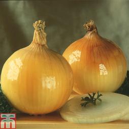 Onion 'Golden Ball' (Spring Planting)