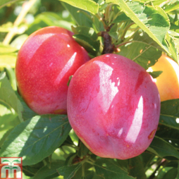 Pluot 'Pink Candy'®
