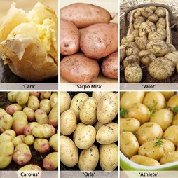 Potato 'Late Blight Resistant Collection'