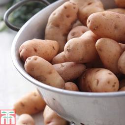 Potato 'Pink Fir Apple'