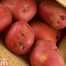 Potato 'Red Duke of York'