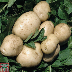 Potato 'British Queen'