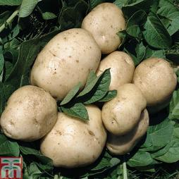 Potato 'British Queen'