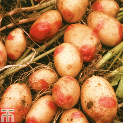 Potato 'King Edward'