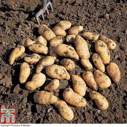 Potato 'Belle de Fontenay'