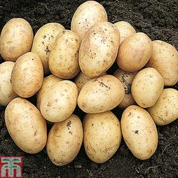 Potato 'Orla'