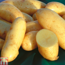 Potato 'Mayan Gold'