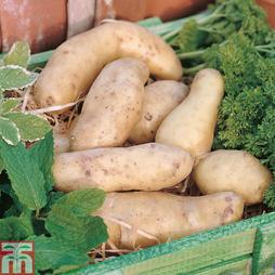 Potato 'Ratte'