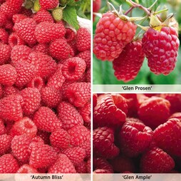 Raspberry Full Season Collection British Bred