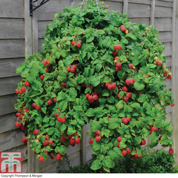 Raspberry 'Ruby Falls®' (Summer Fruiting)