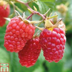 Raspberry 'Glen Prosen' (Summer fruiting)