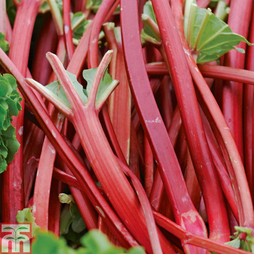 Rhubarb 'Fulton's Strawberry Surprise' (Spring/Autumn Planting)