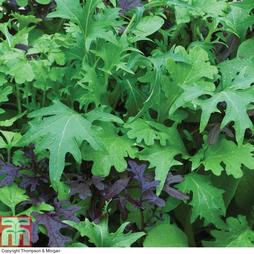 Salad Leaves 'Speedy Mix'