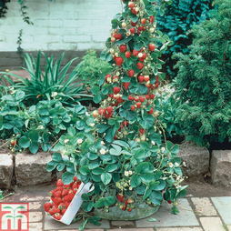 Strawberry 'Mount Everest' (Everbearer/ All Season)