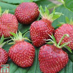 Strawberry 'Cherry Berry'