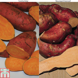 Sweet Potato 'Duo'